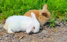 продаются крольчата карликовый вислоухий баран