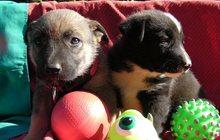 Верные, умные, красивые щенки, мальчики и девочки
