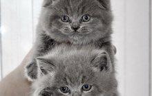 Шотландские котики и кошечки
