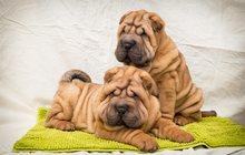 Купить щенка шарпея можно у нас в питомнике