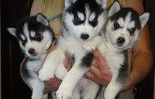 Элитные щенки сибирского хаски