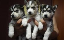 Породные , красивые щенки сибирского хаски