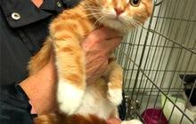 Ищет дом чудесный котенок Рыжик