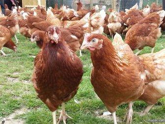 Новое foto  Продам молодок кур-несушек высокой яйценоскости, 32413697 в Москве