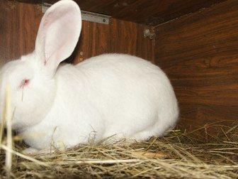 Скачать фото Грызуны Продаю Кроликов породы Ризен и Белый великан 32494485 в Москве