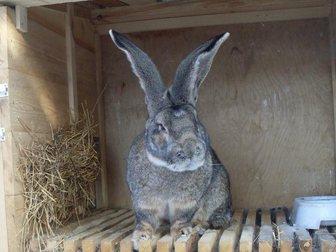 Скачать foto Грызуны Продаю Кроликов породы Ризен и Белый великан 32494485 в Москве