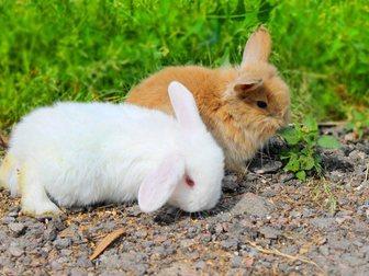 Увидеть изображение Грызуны продаются крольчата карликовый вислоухий баран 33075338 в Москве