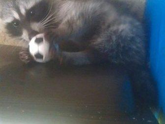 Уникальное фото Другие животные енот полоскун девочка 5 месяцев 34059279 в Москве