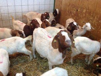 Уникальное фотографию  Купить Англо-нубийские козы можно у нас, Продам Нубийцев 34358362 в Москве
