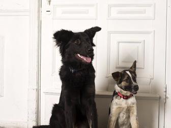 Увидеть фотографию  Молодая активная собака Честа в хорошие руки, 44181668 в Москве
