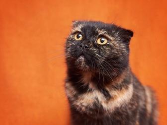 Смотреть фотографию  Вислоухая кошечка Соня в добрые руки! 44354510 в Москве