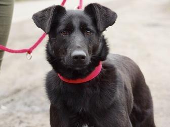 Уникальное foto  Красивая чёрная собака Берта в добрые руки, 50054732 в Москве