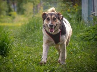 Скачать foto  Добрый пес Рони в добрые руки, В дар, 50183234 в Москве
