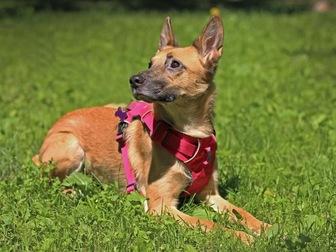Увидеть фото  Чудесная собака Чили в добрые руки, 67664938 в Москве