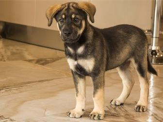 Смотреть foto  Чудесный щенок Адель в добрые руки, 67704400 в Москве