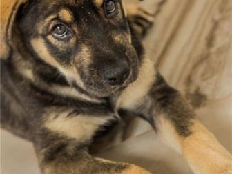 Уникальное фото  Чудесный щенок Адель в добрые руки, 67704400 в Москве