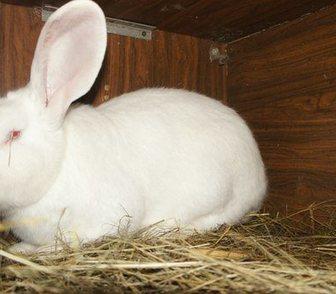 Фотография в Домашние животные Грызуны Продаю Кроликов породы Ризен и Белый великан, в Москве 2500