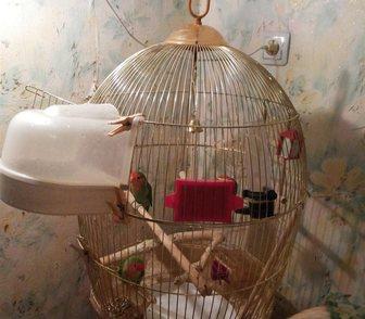 Изображение в Домашние животные Птички Продам пару НЕРАЗЛУЧНИКОВ.     МАЛЬЧИК и в Москве 3000