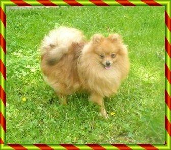 Изображение в Собаки и щенки Продажа собак, щенков Продается подрощенный ( 8 мес.) щенок немецкого в Москве 15000