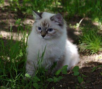 Изображение в Кошки и котята Продажа кошек и котят Предлагается невская маскарадная кошечка в Москве 25000