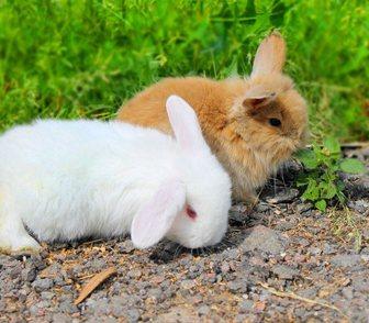 Фото в Домашние животные Грызуны продаются крольчата . порода карликовый вислоухий в Москве 0