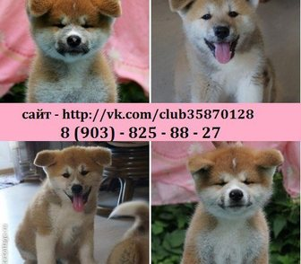 Фото в Собаки и щенки Продажа собак, щенков Продам пёсиков Акита-Ину по хорошим ценам. в Москве 0