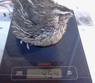 Фото в Домашние животные Птички Самцы перепелов Танюшкиного Бройлерного Фараона в Москве 150