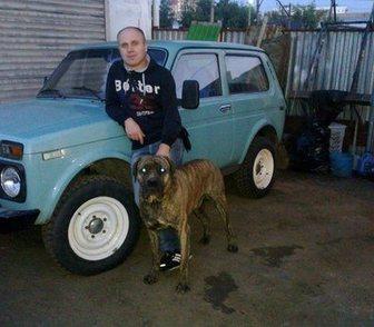 Фотография в Домашние животные Услуги для животных пропала собака- типа- кане корсо, кобель, в Москве 0