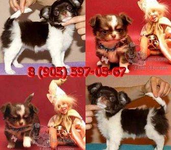 Изображение в Собаки и щенки Продажа собак, щенков Продаются шикарные, расписные д-ш и г-ш щенки в Москве 0