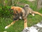 Скачать фото Отдам даром - приму в дар Этот щенок ждёт именно Вас! 39279812 в Можайске