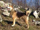 Фото в Собаки и щенки Продажа собак, щенков Барон ищет хозяина.   Возраст 2 года.   Кастрирован. в Мурманске 100