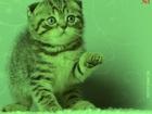 Foto в Кошки и котята Вязка Клубный, шотландский, шикарный, привозной в Мурманске 0
