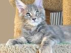 Изображение в Кошки и котята Продажа кошек и котят Продается котенок мейн-кун Джессика, окрас в Мурманске 0