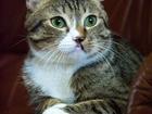 Фотография в Кошки и котята Продажа кошек и котят Парень молодой, возрастом один год. По характеру в Мурманске 0