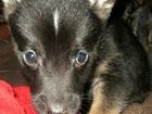 Изображение в   Умный ласковый щенок-метис с терьерчиком в Мысках 0