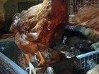 Фото в Домашние животные Птички Продаются курицы-несушки красно-рыжие породы в Нурлате 180