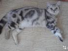 Фотография в Кошки и котята Вязка Шотландский скоттиш страйт, окраса чёрный в Набережных Челнах 1500