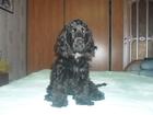 Изображение в Собаки и щенки Вязка собак Собака Дина 1 год и 2 месяца черная в Набережных Челнах 0