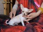 Фотография в Собаки и щенки Продажа собак, щенков Продам щенков породы чихуахуа г/ш и д/ш, в Нефтеюганске 15000