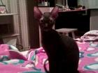 Скачать бесплатно фотографию Вязка Миниатюрная кошечка сфинкс ищит котика на вязку 38571498 в Кемерово
