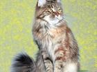 Фото в Кошки и котята Продажа кошек и котят Кошечка мейн-кун Карина в отличном породном в Нерюнгри 0
