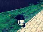 Изображение в Собаки и щенки Вязка собак Молодой кабель русского спаниеля, рабочий в Нижневартовске 0