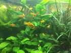 Фото в   Аквариумные растения из своих аквариумов в Нижневартовске 0