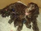 Фотография в Собаки и щенки Продажа собак, щенков 17 ноября родились прекрасные, шоколадные в Нижнем Новгороде 3000