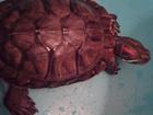 Уникальное фотографию Отдам даром - приму в дар Красноухая водная черепаха 34358092 в Нижнем Новгороде