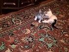 Фотография в Кошки и котята Продажа кошек и котят Есть 2 котенка (серый, белый с черным). Родились в Нижнем Новгороде 0