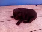 Фото в Собаки и щенки Продажа собак, щенков Отдадим в добрые руки щенков (1, 5 мес.), в Нижнем Новгороде 0