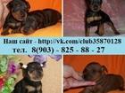 Фото в Собаки и щенки Продажа собак, щенков Продам недорого замечательных чистокровных в Нижнем Новгороде 12000