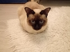 Смотреть фото  Ищу кошку породы меконгский бобтейл для вязки с кодом этой породы 38554326 в Нижнем Новгороде