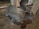 Смотреть фотографию Другие животные продам кроликов 38621786 в Нижнем Новгороде